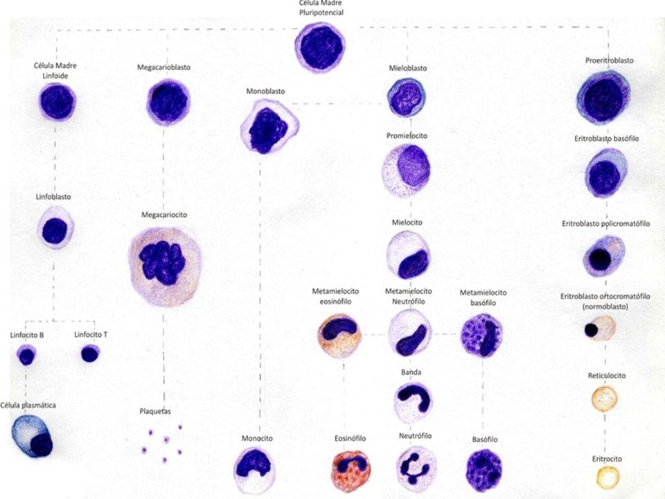 Volumen corpuscular medio Tamaño promedio de los eritrocitos.