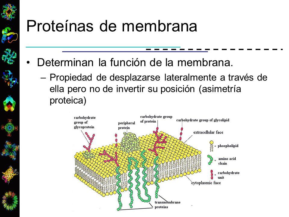 Proteínas de membrana Determinan la función de la membrana. –Propiedad de desplazarse lateralmente a través de ella pero no de invertir su posición (a