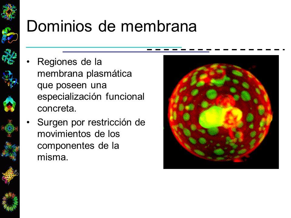 Dominios de membrana Regiones de la membrana plasmática que poseen una especialización funcional concreta. Surgen por restricción de movimientos de lo