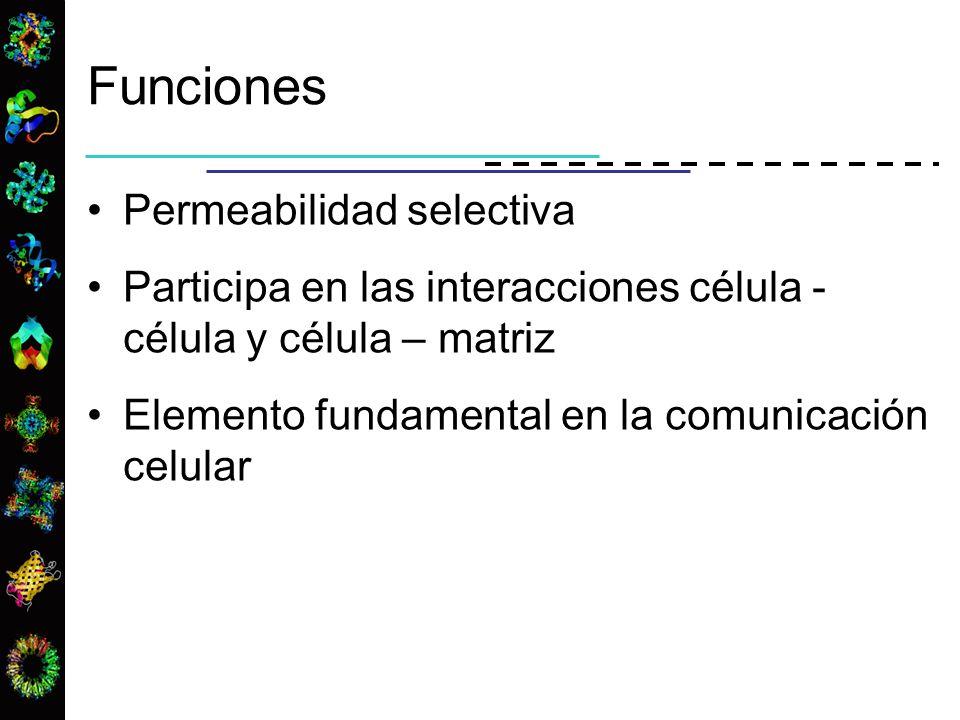 Funciones Permeabilidad selectiva Participa en las interacciones célula - célula y célula – matriz Elemento fundamental en la comunicación celular