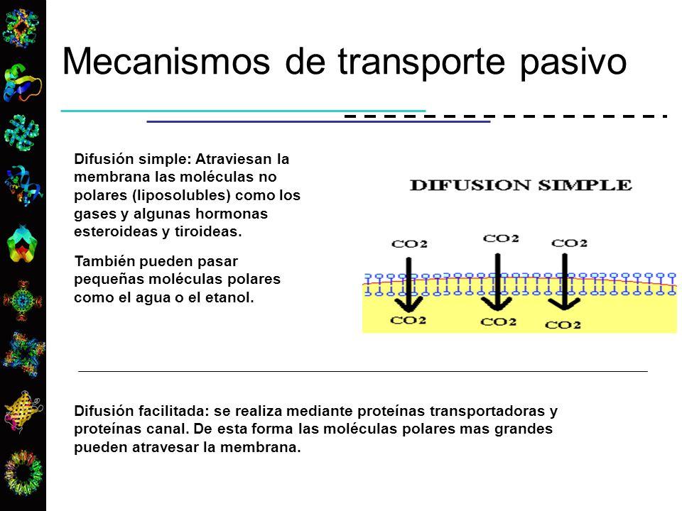 Difusión simple: Atraviesan la membrana las moléculas no polares (liposolubles) como los gases y algunas hormonas esteroideas y tiroideas. También pue