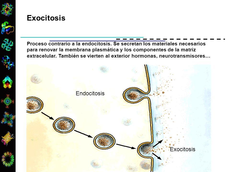Exocitosis Proceso contrario a la endocitosis. Se secretan los materiales necesarios para renovar la membrana plasmática y los componentes de la matri