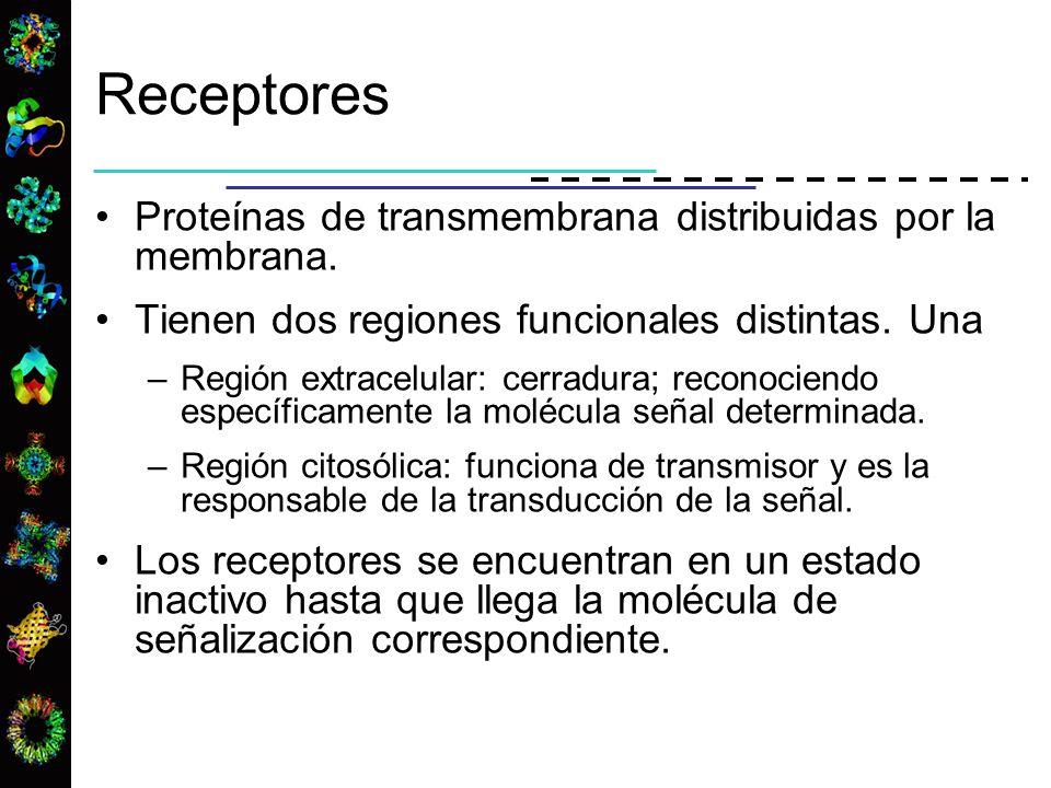 Receptores Proteínas de transmembrana distribuidas por la membrana. Tienen dos regiones funcionales distintas. Una –Región extracelular: cerradura; re