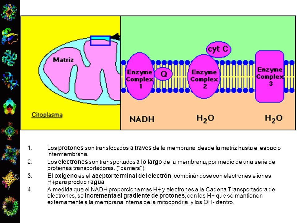 1.Los protones son translocados a traves de la membrana, desde la matriz hasta el espacio intermembrana. 2.Los electrones son transportados a lo largo