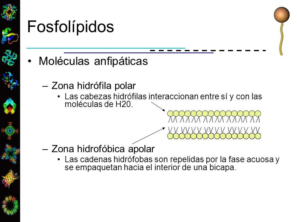Fosfolípidos Moléculas anfipáticas –Zona hidrófila polar Las cabezas hidrófilas interaccionan entre sí y con las moléculas de H20. –Zona hidrofóbica a