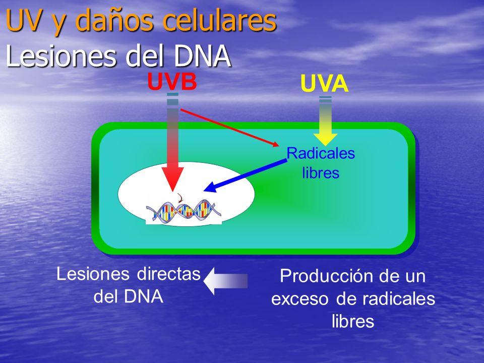 Lesiones directas del DNA Producción de un exceso de radicales libres UVB Radicales libres UVA UV y daños celulares Lesiones del DNA