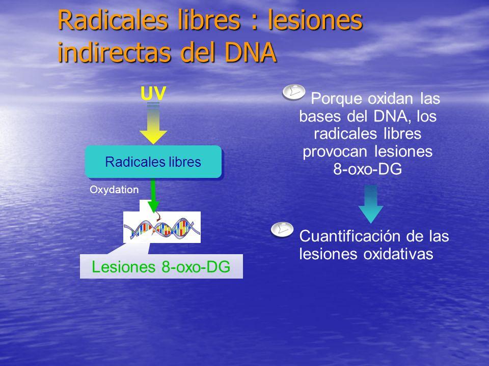 UV Oxydation Radicales libres Porque oxidan las bases del DNA, los radicales libres provocan lesiones 8-oxo-DG Lesiones 8-oxo-DG Cuantificación de las