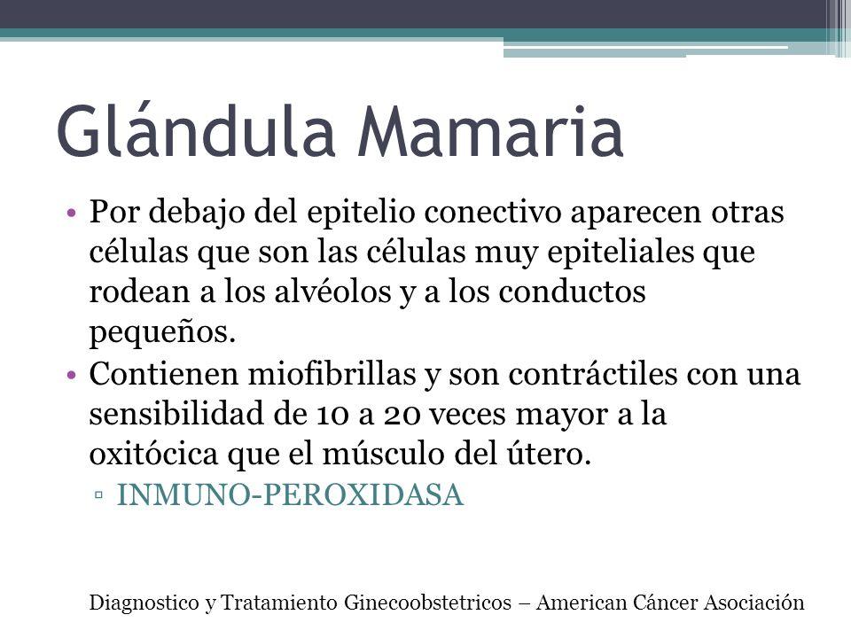 Glándula Mamaria Por debajo del epitelio conectivo aparecen otras células que son las células muy epiteliales que rodean a los alvéolos y a los conduc