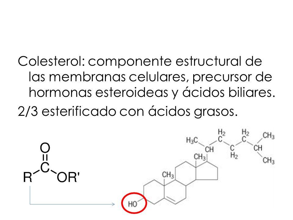 Colesterol: componente estructural de las membranas celulares, precursor de hormonas esteroideas y ácidos biliares. 2/3 esterificado con ácidos grasos