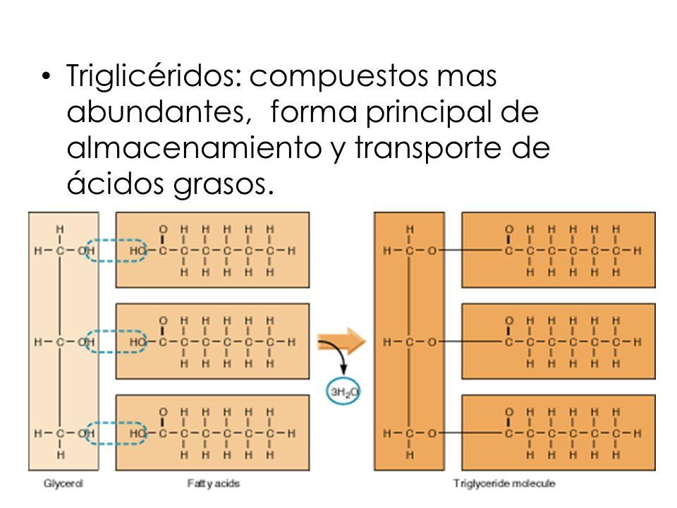 Triglicéridos: compuestos mas abundantes, forma principal de almacenamiento y transporte de ácidos grasos.