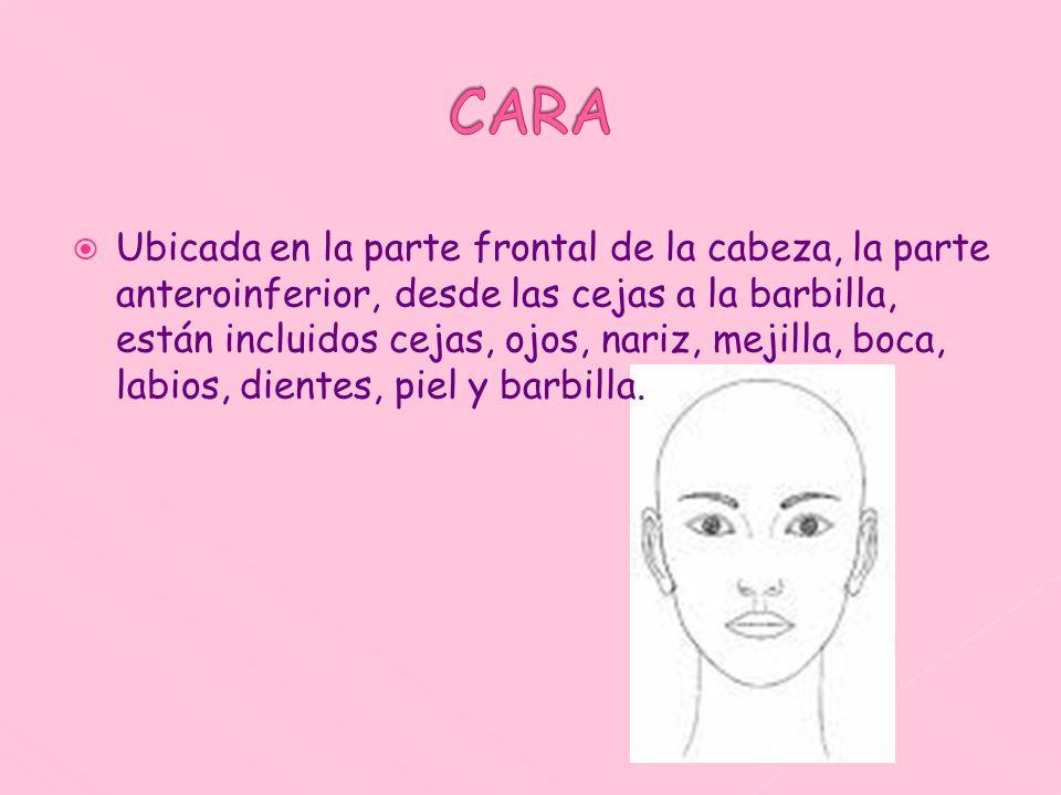 Ubicada en la parte frontal de la cabeza, la parte anteroinferior, desde las cejas a la barbilla, están incluidos cejas, ojos, nariz, mejilla, boca, l