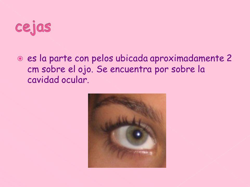 es la parte con pelos ubicada aproximadamente 2 cm sobre el ojo. Se encuentra por sobre la cavidad ocular.