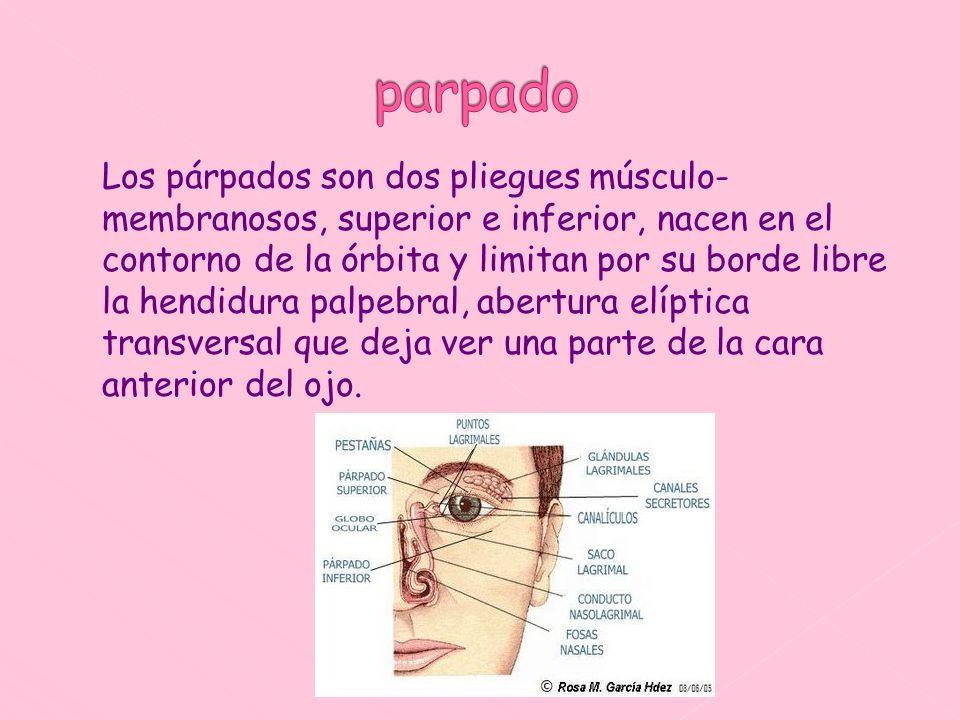 Los párpados son dos pliegues músculo- membranosos, superior e inferior, nacen en el contorno de la órbita y limitan por su borde libre la hendidura p