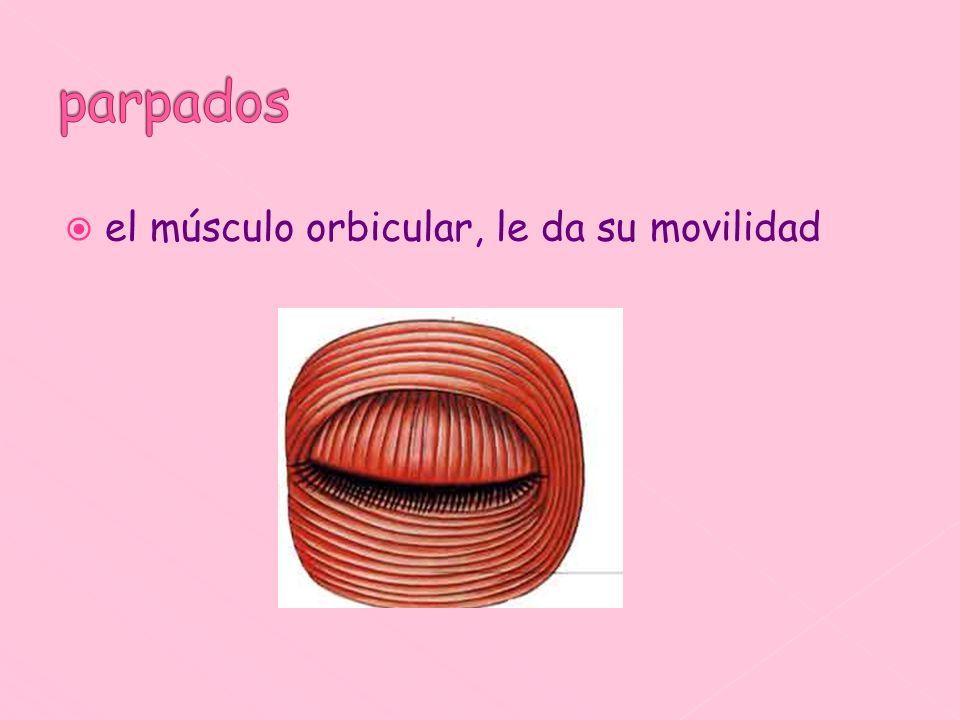 el músculo orbicular, le da su movilidad