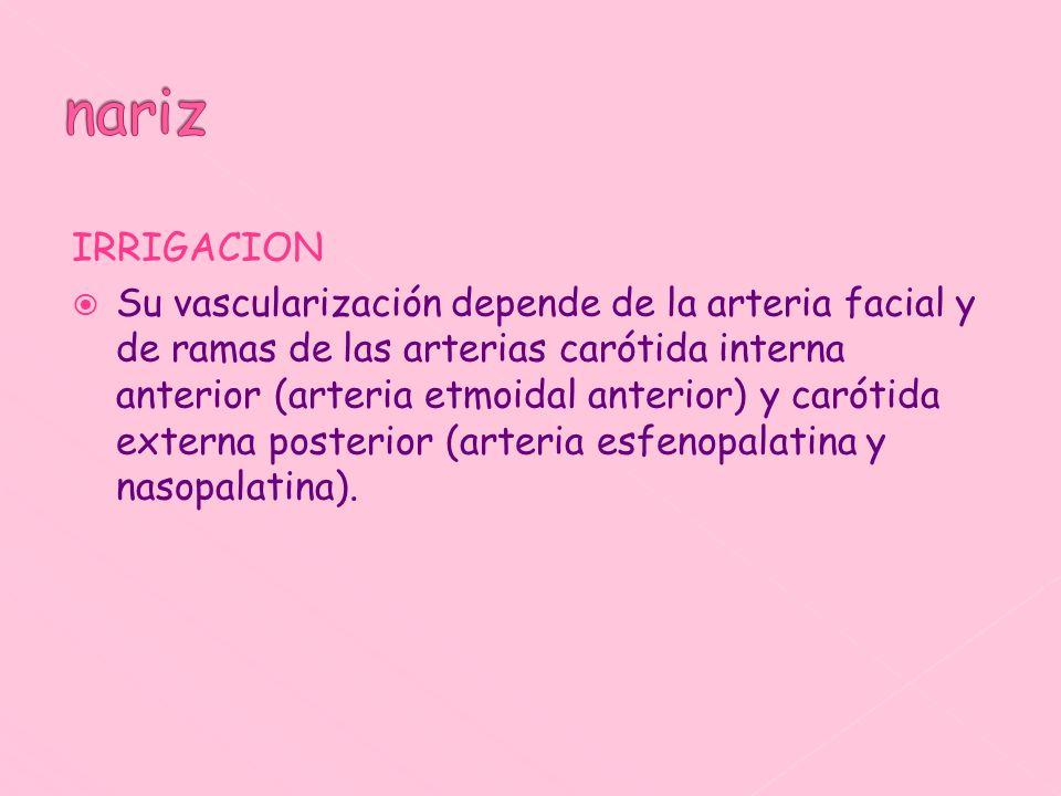IRRIGACION Su vascularización depende de la arteria facial y de ramas de las arterias carótida interna anterior (arteria etmoidal anterior) y carótida