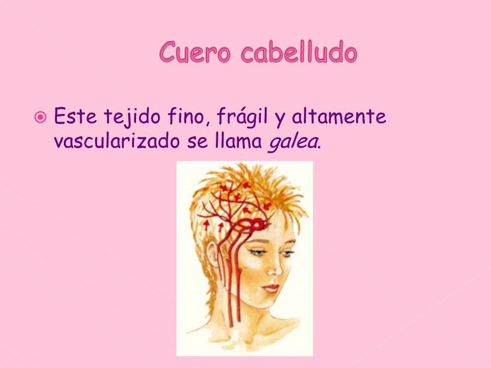 Este tejido fino, frágil y altamente vascularizado se llama galea.