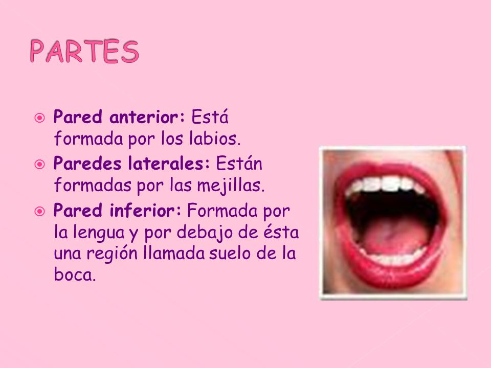 Pared anterior: Está formada por los labios. Paredes laterales: Están formadas por las mejillas. Pared inferior: Formada por la lengua y por debajo de