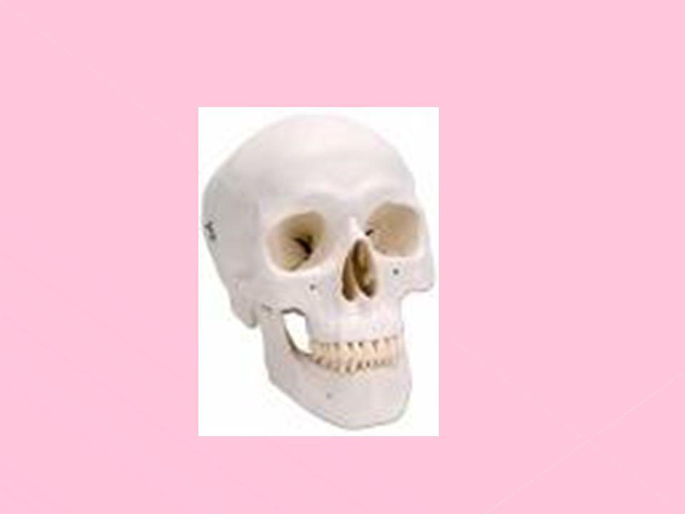 se divide en dos compartimientos separados por el tabique nasal, los cuales tienen dos orificios de salida denominados narinas.