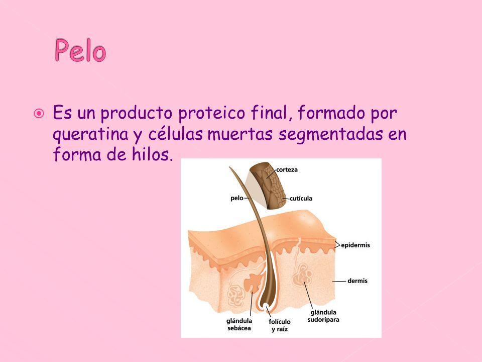 Es un producto proteico final, formado por queratina y células muertas segmentadas en forma de hilos.