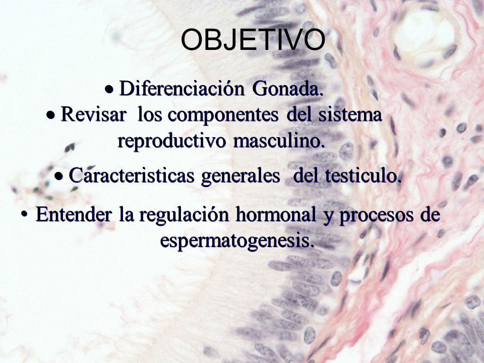 Diferenciación Gonada Diferenciación del aparato reproductor masculino –7 semana gestación : 1 st primordio de gonada indiferenciada –SRY (Región determinante del sexo cromosoma Y) controla la diferenciación testicular temprana SRY (TF) y (WT-1, SOX-9, DAX-1) inicar la diferenciación sexual masculina.