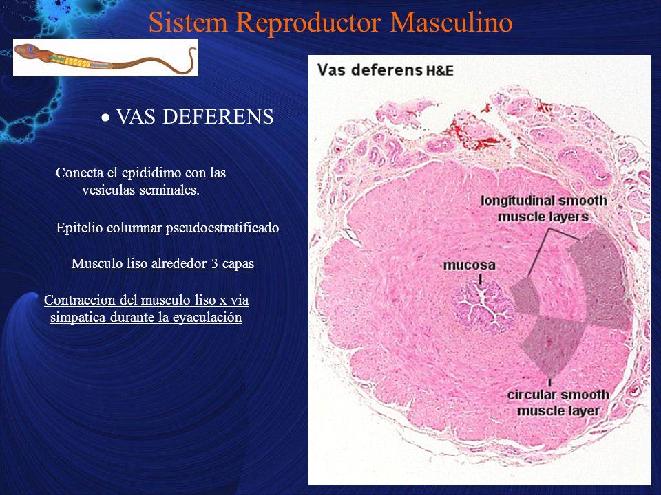 VAS DEFERENS Sistem Reproductor Masculino Conecta el epididimo con las vesiculas seminales. Musculo liso alrededor 3 capas Contraccion del musculo lis
