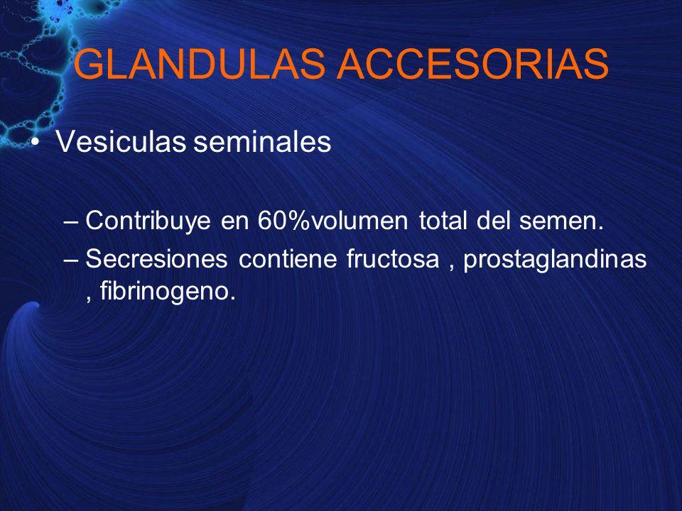 Vesiculas seminales –Contribuye en 60%volumen total del semen. –Secresiones contiene fructosa, prostaglandinas, fibrinogeno. GLANDULAS ACCESORIAS