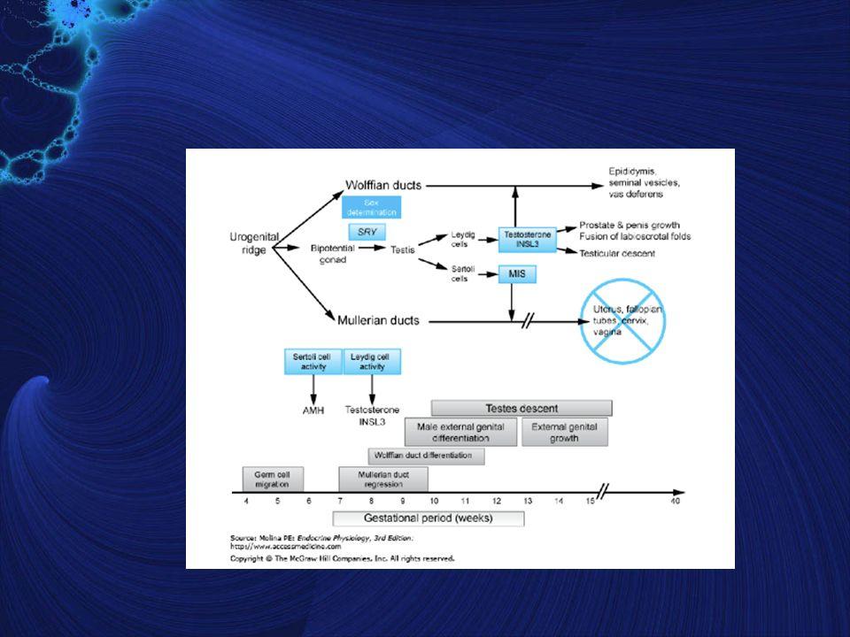 Sistema Reproductor Masculino ESPERMIOGENESIS Esperma maduro 60µm largo, adquiere movilidad en epididimo (1) CABEZA (2) CUELLO (3) COLA - Nucleo y acrosoma - Centriolo y pieza conectiva - Pieza media (axonoma) -Pieza final (axonoma)