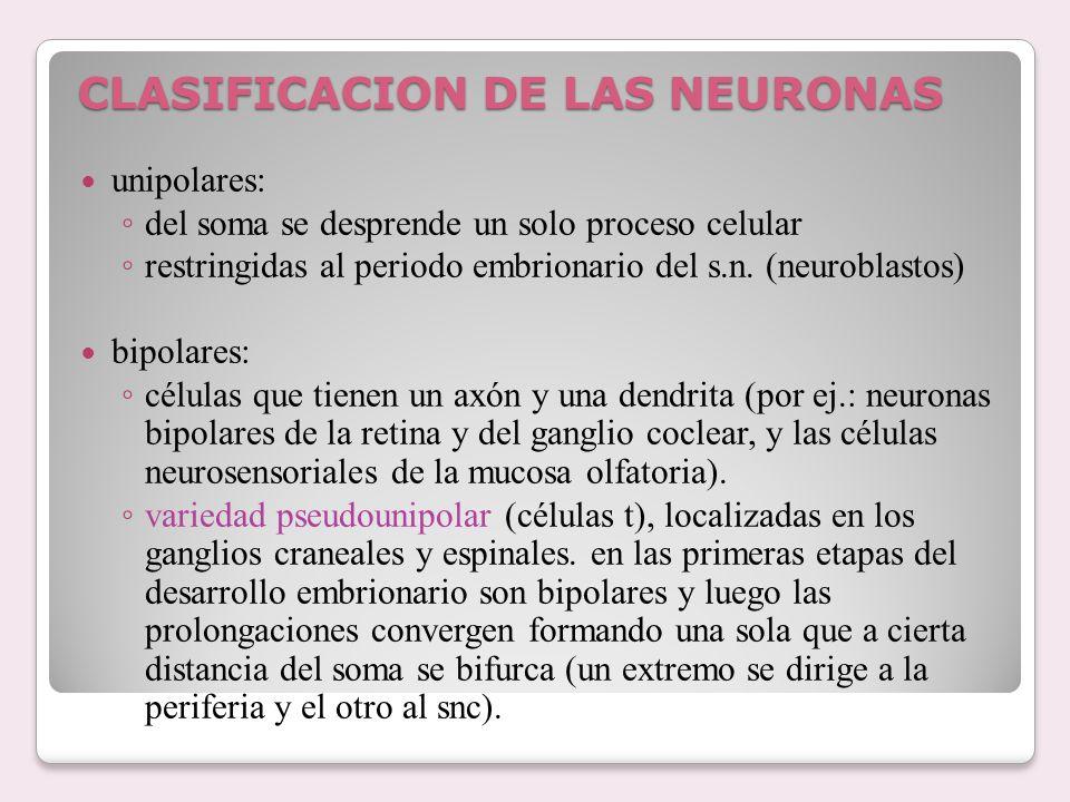 CLASIFICACION DE LAS NEURONAS unipolares: del soma se desprende un solo proceso celular restringidas al periodo embrionario del s.n. (neuroblastos) bi