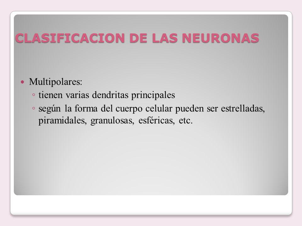 CLASIFICACION DE LAS NEURONAS Multipolares: tienen varias dendritas principales según la forma del cuerpo celular pueden ser estrelladas, piramidales,