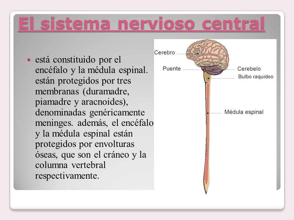 El sistema nervioso central está constituido por el encéfalo y la médula espinal. están protegidos por tres membranas (duramadre, piamadre y aracnoide