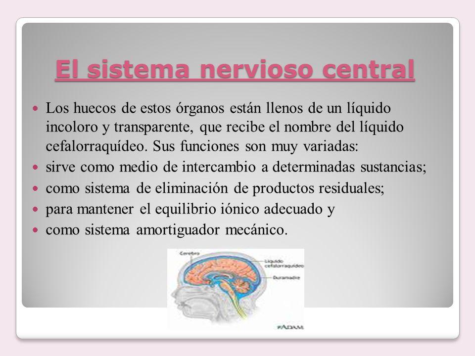 El sistema nervioso central Los huecos de estos órganos están llenos de un líquido incoloro y transparente, que recibe el nombre del líquido cefalorra