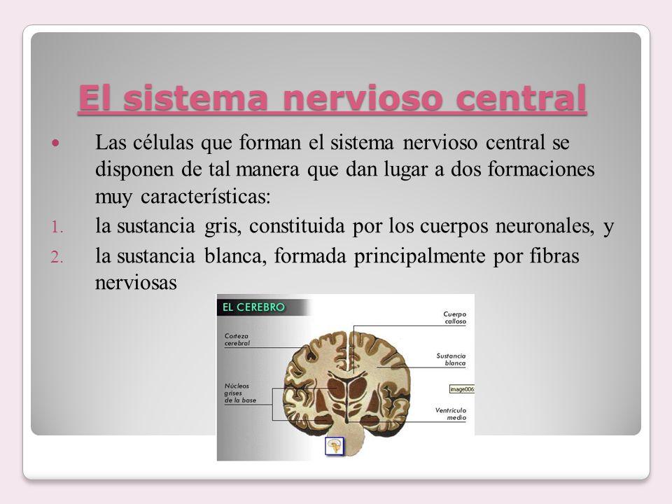 El sistema nervioso central Las células que forman el sistema nervioso central se disponen de tal manera que dan lugar a dos formaciones muy caracterí