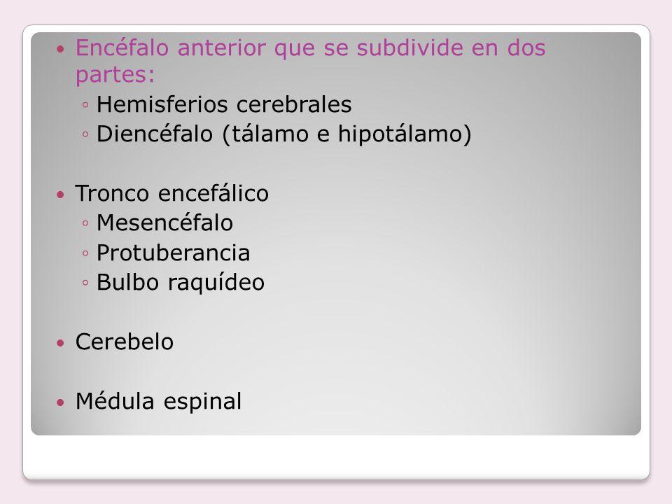 Encéfalo anterior que se subdivide en dos partes: Hemisferios cerebrales Diencéfalo (tálamo e hipotálamo) Tronco encefálico Mesencéfalo Protuberancia