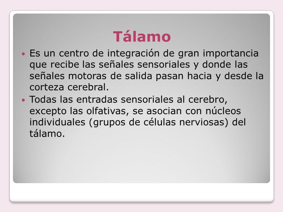 Tálamo Es un centro de integración de gran importancia que recibe las señales sensoriales y donde las señales motoras de salida pasan hacia y desde la