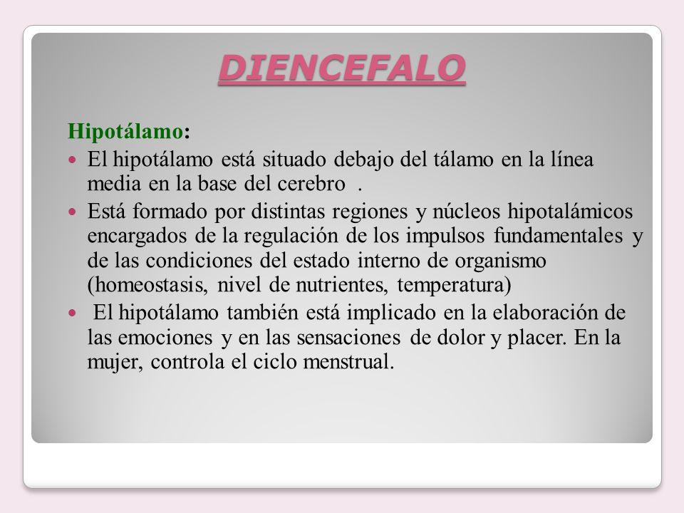 DIENCEFALO Hipotálamo: El hipotálamo está situado debajo del tálamo en la línea media en la base del cerebro. Está formado por distintas regiones y nú