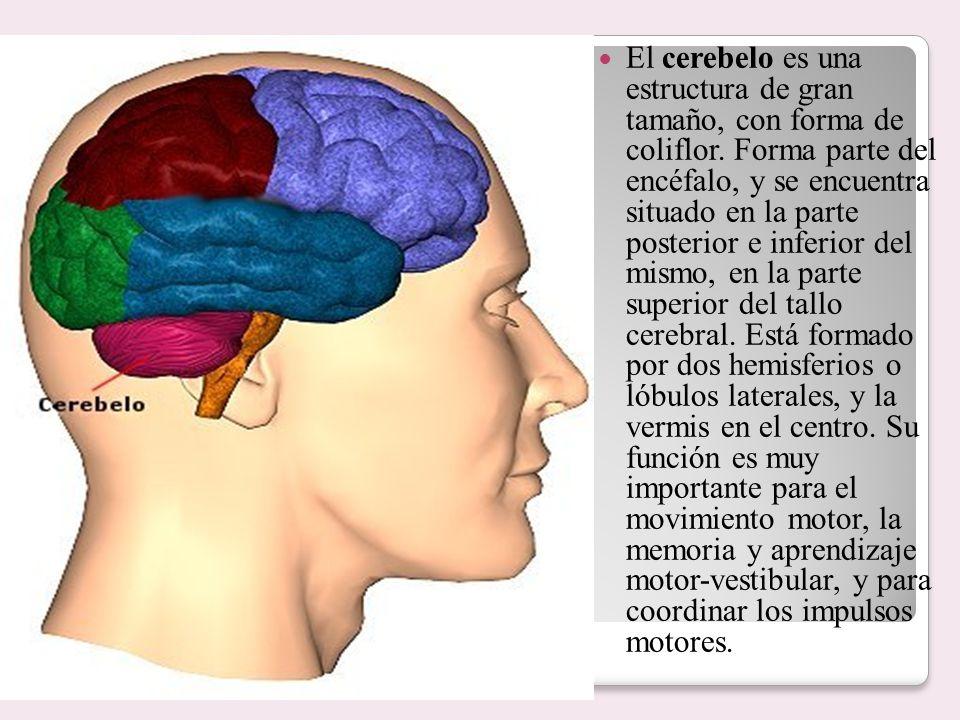 El cerebelo es una estructura de gran tamaño, con forma de coliflor. Forma parte del encéfalo, y se encuentra situado en la parte posterior e inferior