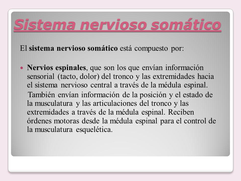 Sistema nervioso somático El sistema nervioso somático está compuesto por: Nervios espinales, que son los que envían información sensorial (tacto, dol