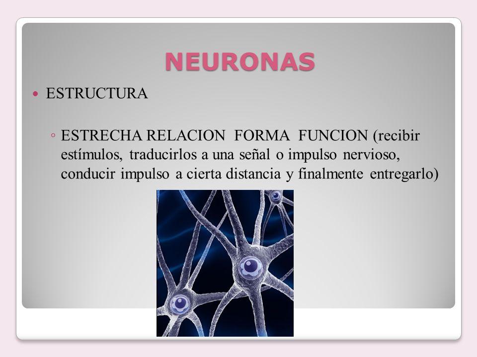 NEURONAS ESTRUCTURA ESTRECHA RELACION FORMA FUNCION (recibir estímulos, traducirlos a una señal o impulso nervioso, conducir impulso a cierta distanci