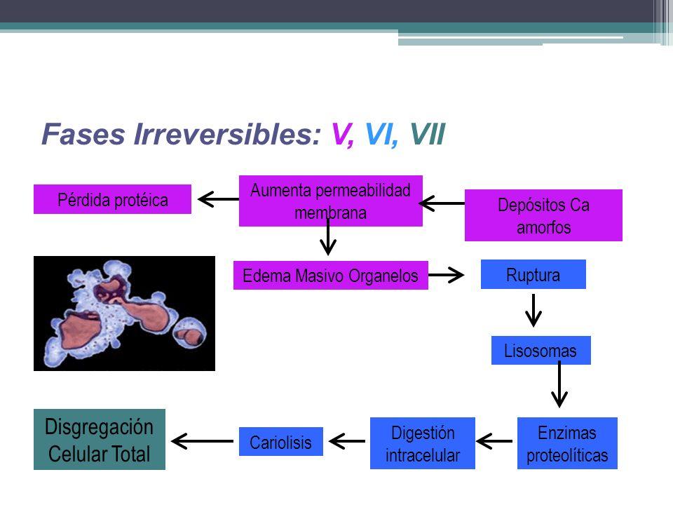Fases Irreversibles: V, VI, VII Edema Masivo Organelos Aumenta permeabilidad membrana Pérdida protéica Depósitos Ca amorfos Enzimas proteolíticas Rupt