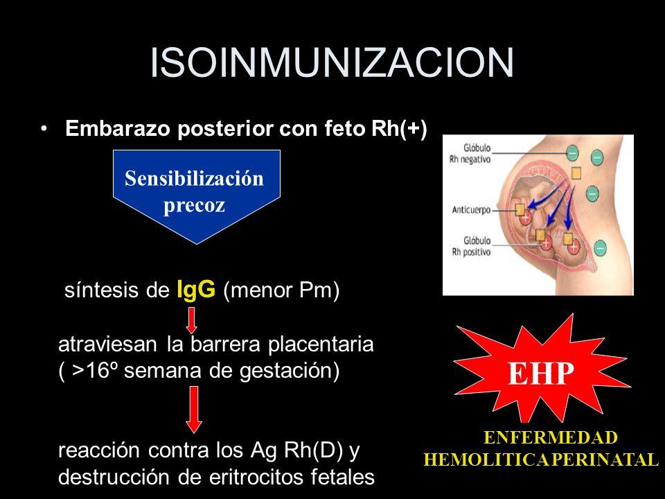 ISOINMUNIZACION Embarazo posterior con feto Rh(+) síntesis de IgG (menor Pm) atraviesan la barrera placentaria ( >16º semana de gestación) reacción co