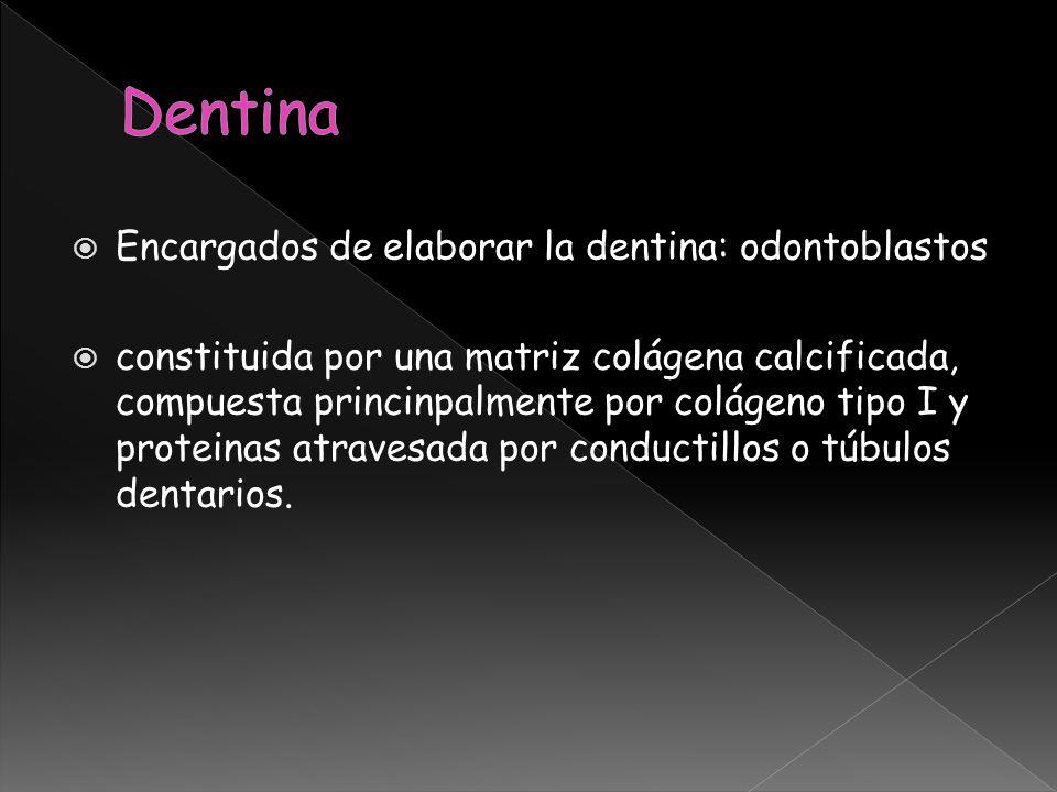 Encargados de elaborar la dentina: odontoblastos constituida por una matriz colágena calcificada, compuesta princinpalmente por colágeno tipo I y prot