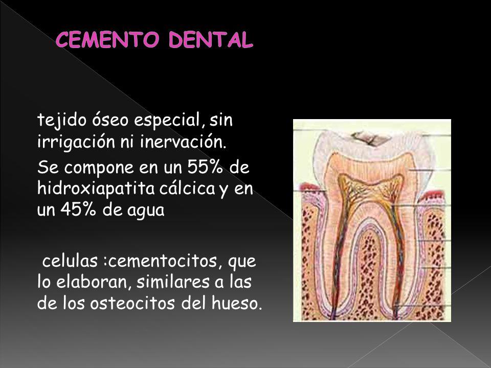 tejido óseo especial, sin irrigación ni inervación. Se compone en un 55% de hidroxiapatita cálcica y en un 45% de agua celulas :cementocitos, que lo e