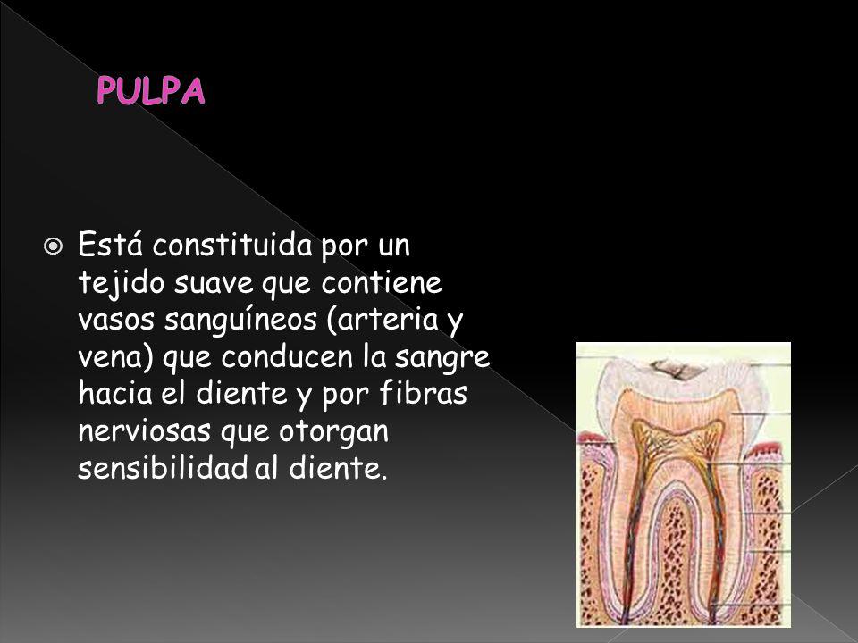 Está constituida por un tejido suave que contiene vasos sanguíneos (arteria y vena) que conducen la sangre hacia el diente y por fibras nerviosas que