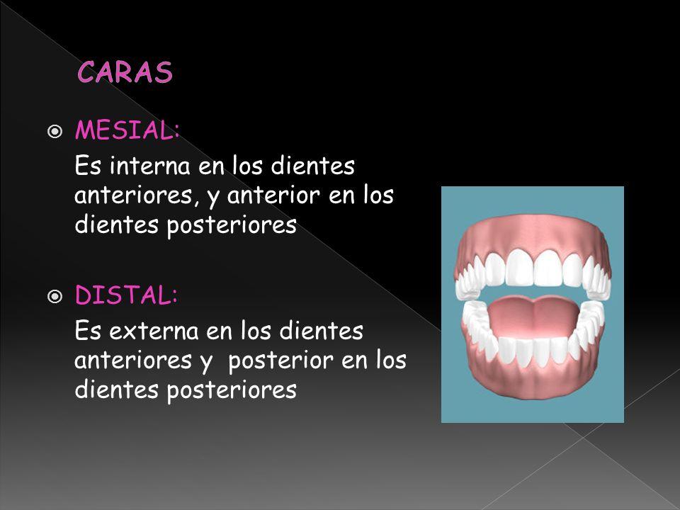 MESIAL: Es interna en los dientes anteriores, y anterior en los dientes posteriores DISTAL: Es externa en los dientes anteriores y posterior en los di