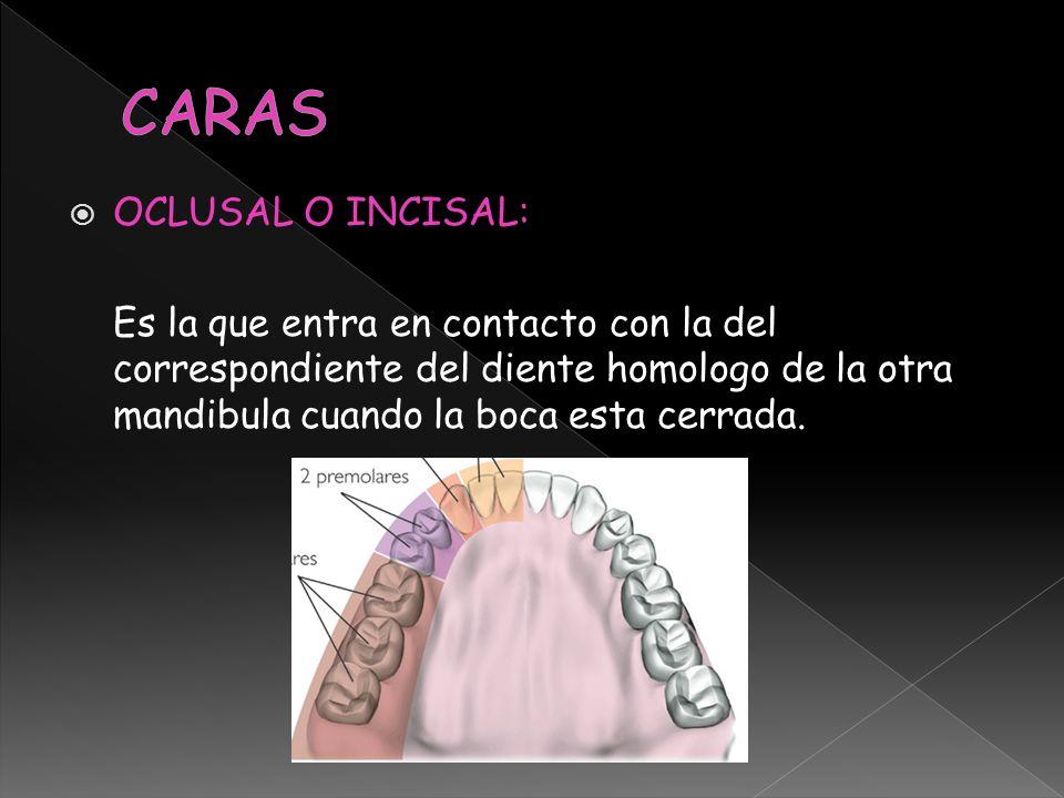 OCLUSAL O INCISAL: Es la que entra en contacto con la del correspondiente del diente homologo de la otra mandibula cuando la boca esta cerrada.
