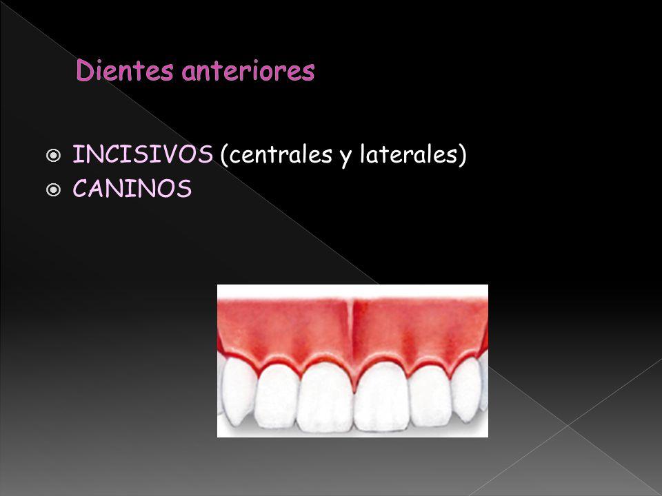 INCISIVOS (centrales y laterales) CANINOS