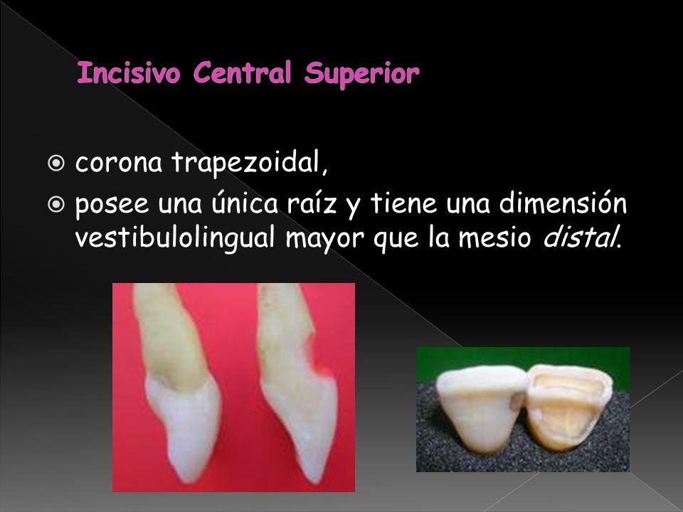 corona trapezoidal, posee una única raíz y tiene una dimensión vestibulolingual mayor que la mesio distal.