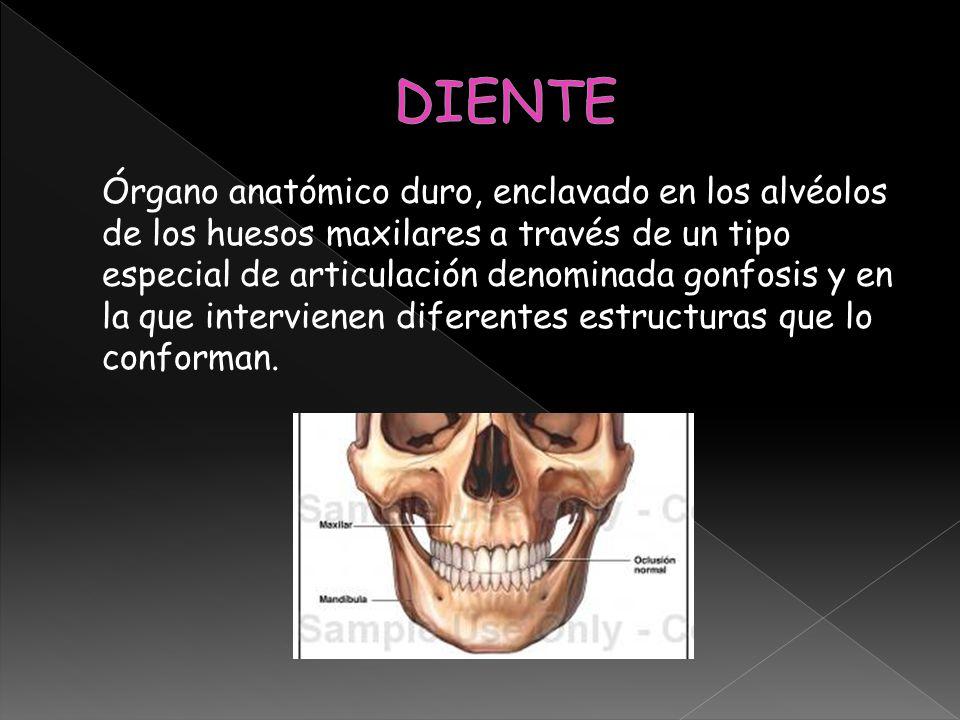 Órgano anatómico duro, enclavado en los alvéolos de los huesos maxilares a través de un tipo especial de articulación denominada gonfosis y en la que