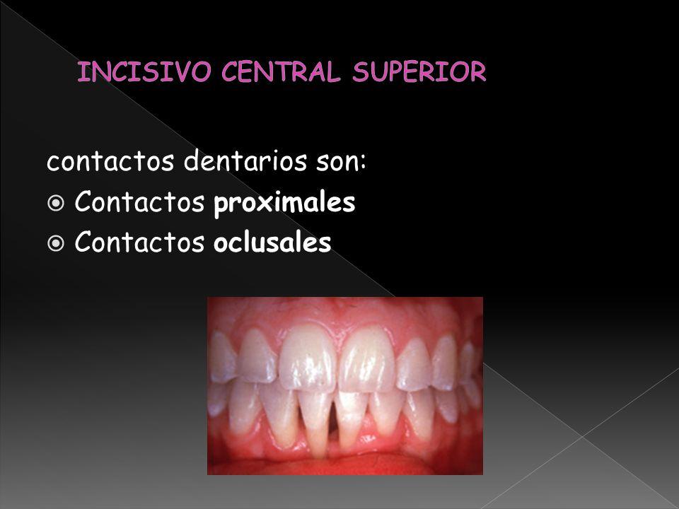 contactos dentarios son: Contactos proximales Contactos oclusales