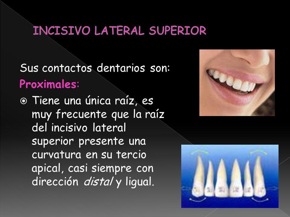 Sus contactos dentarios son: Proximales: Tiene una única raíz, es muy frecuente que la raíz del incisivo lateral superior presente una curvatura en su
